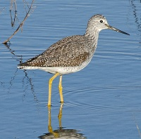 Greater Yellowlegs Photo by John Whitehead