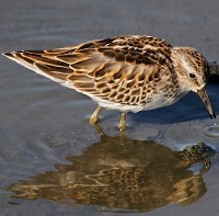 Least Sandpiper Photo by Tom Rowley