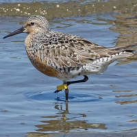 Red Knot Photo by John Whitehead