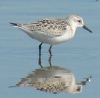 Sanderling Photo my Michael Schramm