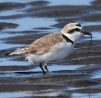 Snowy Plover Photo by Tom Rowley