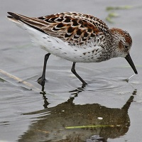 Western Sandpiper Photo by Tom Rowley