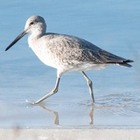Willet Photo by USFWS/Bill Purcell
