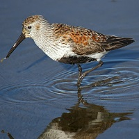 Dunlin Photo by Tom Rowley