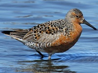 Red Knot Photo by Tom Rowley